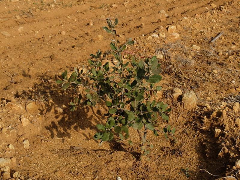 un chêne vert planté il y a deux ans